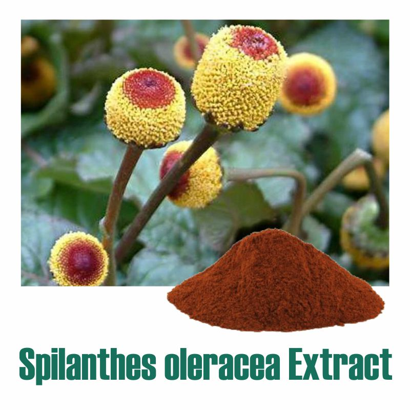 Spilanthes oleracea Extract